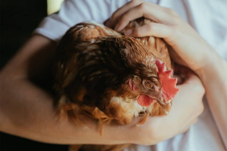 Chicken Carried by a Person