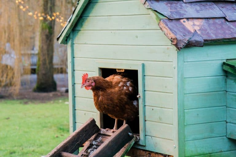 Chicken Standing at the Entrance of a Coop