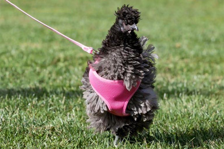 Chicken Wearing Pink Harness