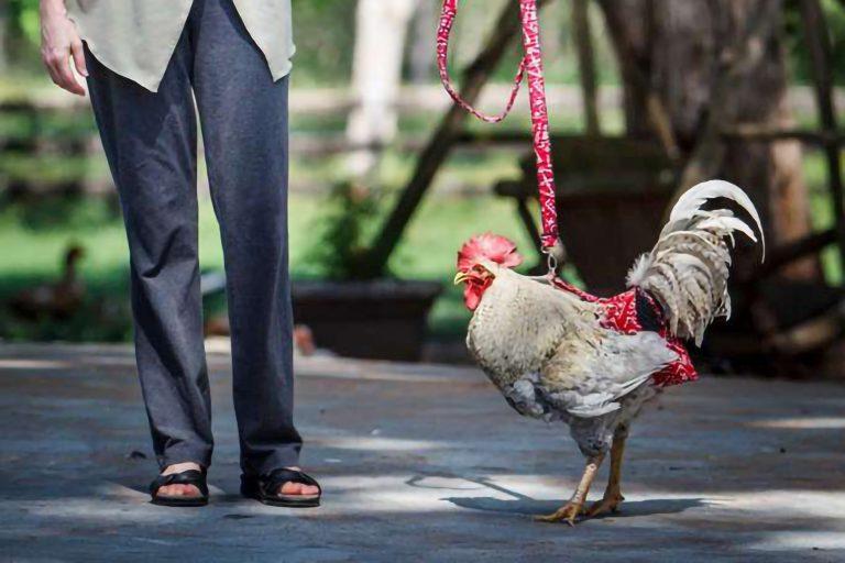 Chicken on a Red Bandana Print Leash