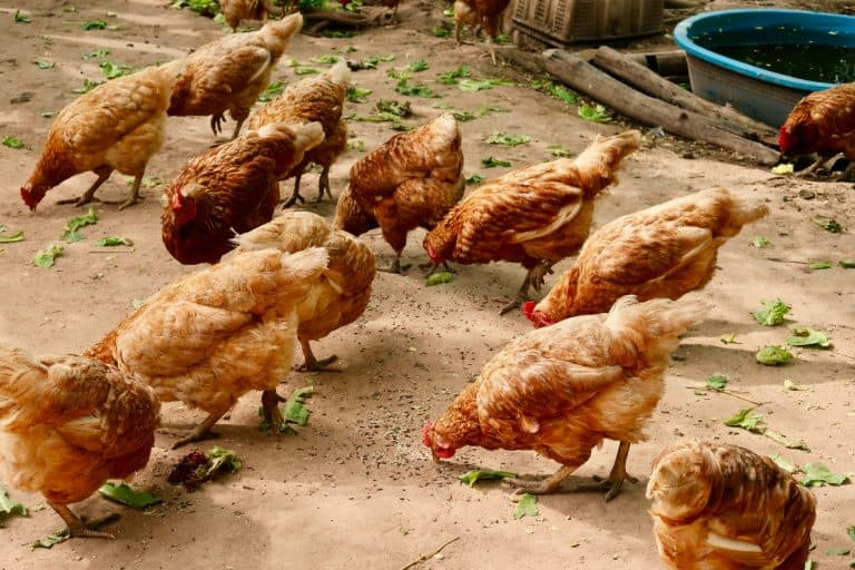 Chickens Feeding on the Ground