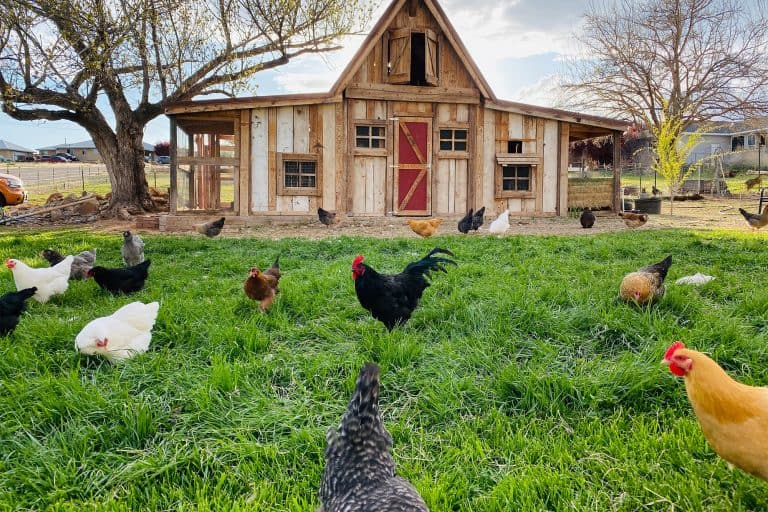Chickens Roaming Outside Coop