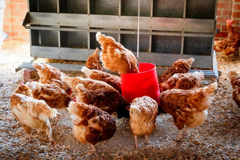 Chickens Using a Feeder