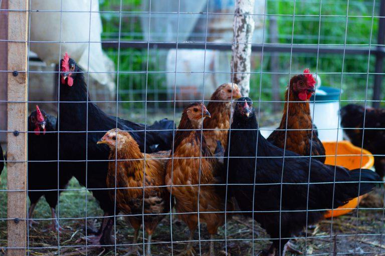Chickens inside a Run
