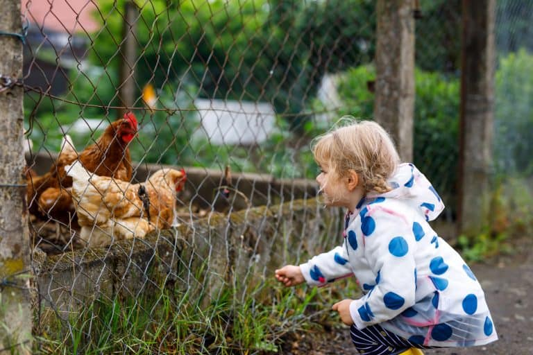 Child Playing with Chickens