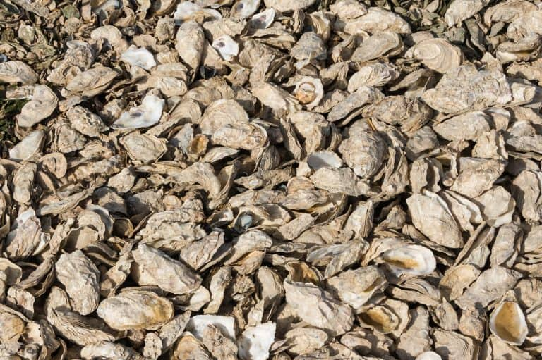 Oyster Shell Texture By Jebulon