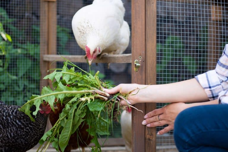 Feeding Chicken with Vegetable Compost