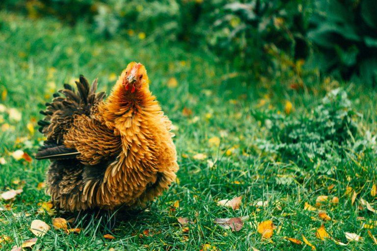 Frizzle Chicken Grazing on a Backyard