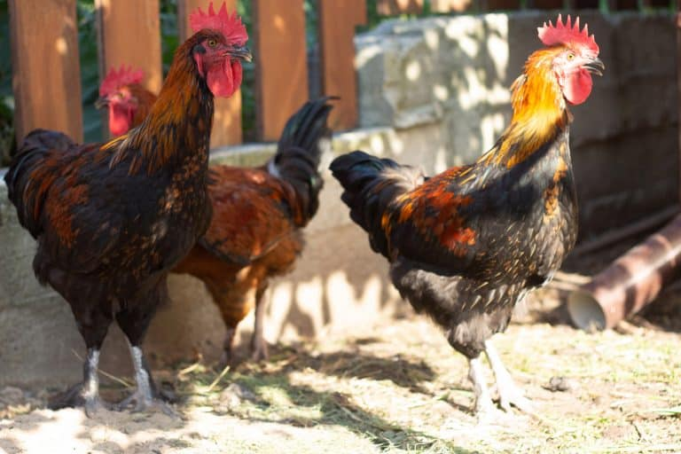 Group of Three Chickens