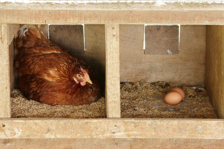 Hen Inside a Nesting Box