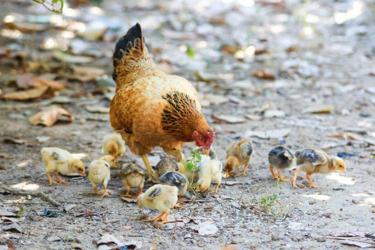 Hen and Chicks Outdoors
