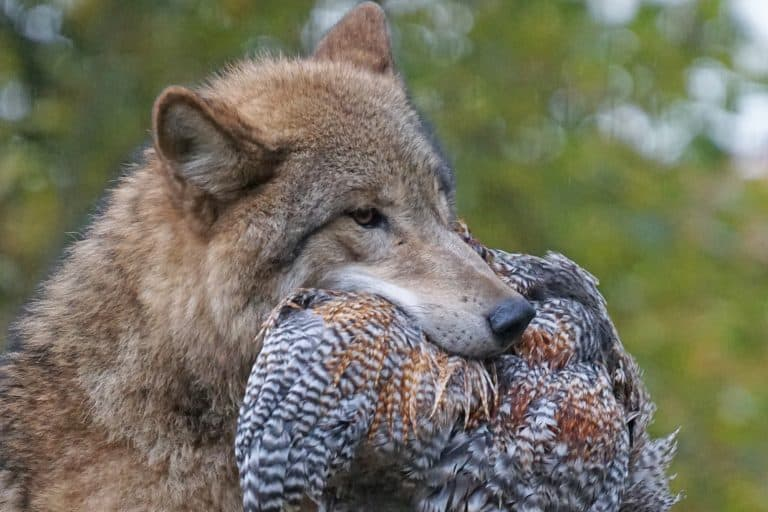 Wolf With Chicken on Mouth